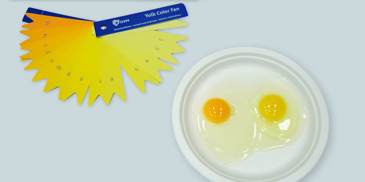 <p>We use a yolk color fan to determine whether the yolk is as dark as Organic Valley consumers expect it to be.</p>