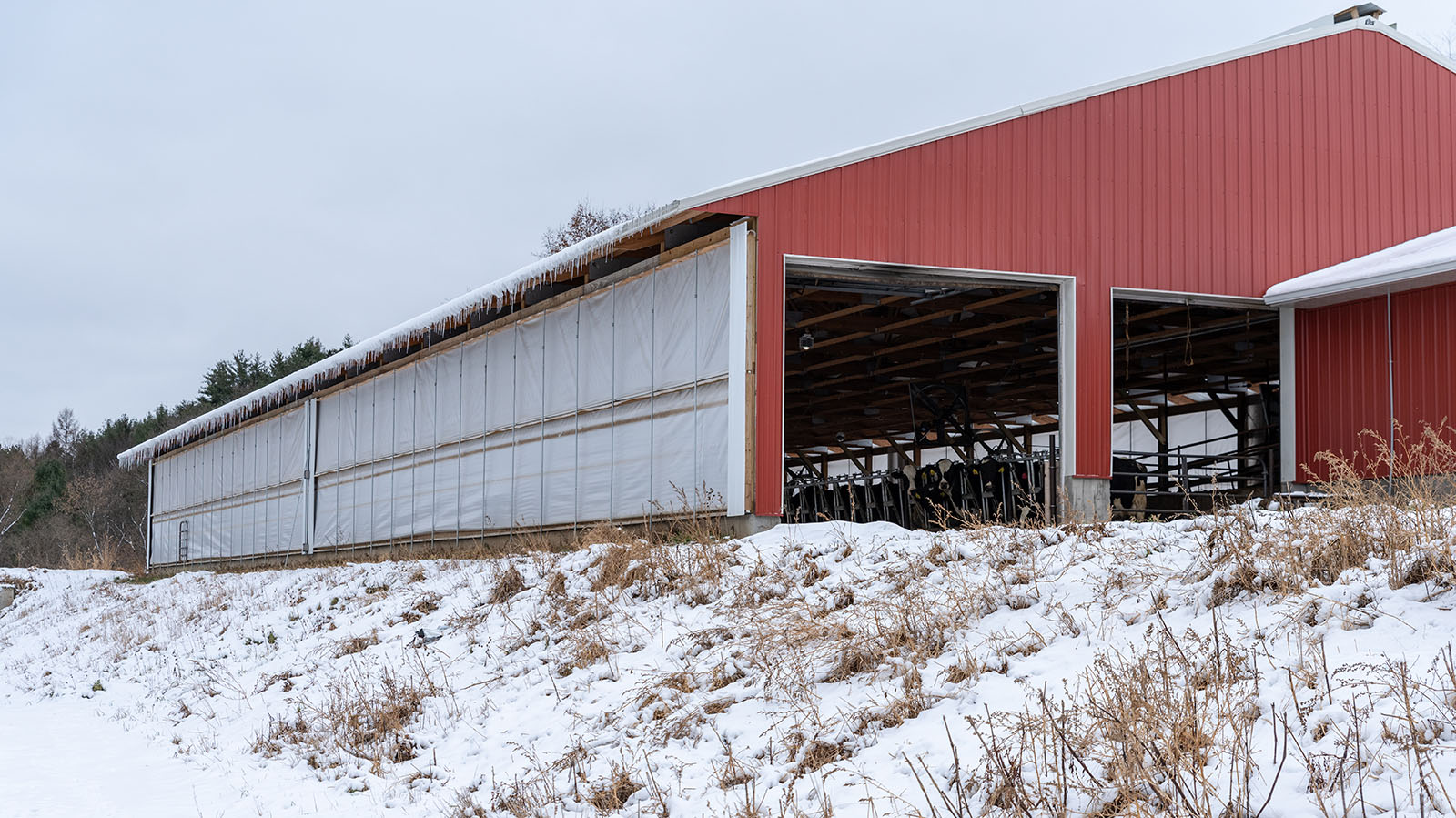 Modern red metal freestall barn with soft sides and icicles dripping from the eaves.