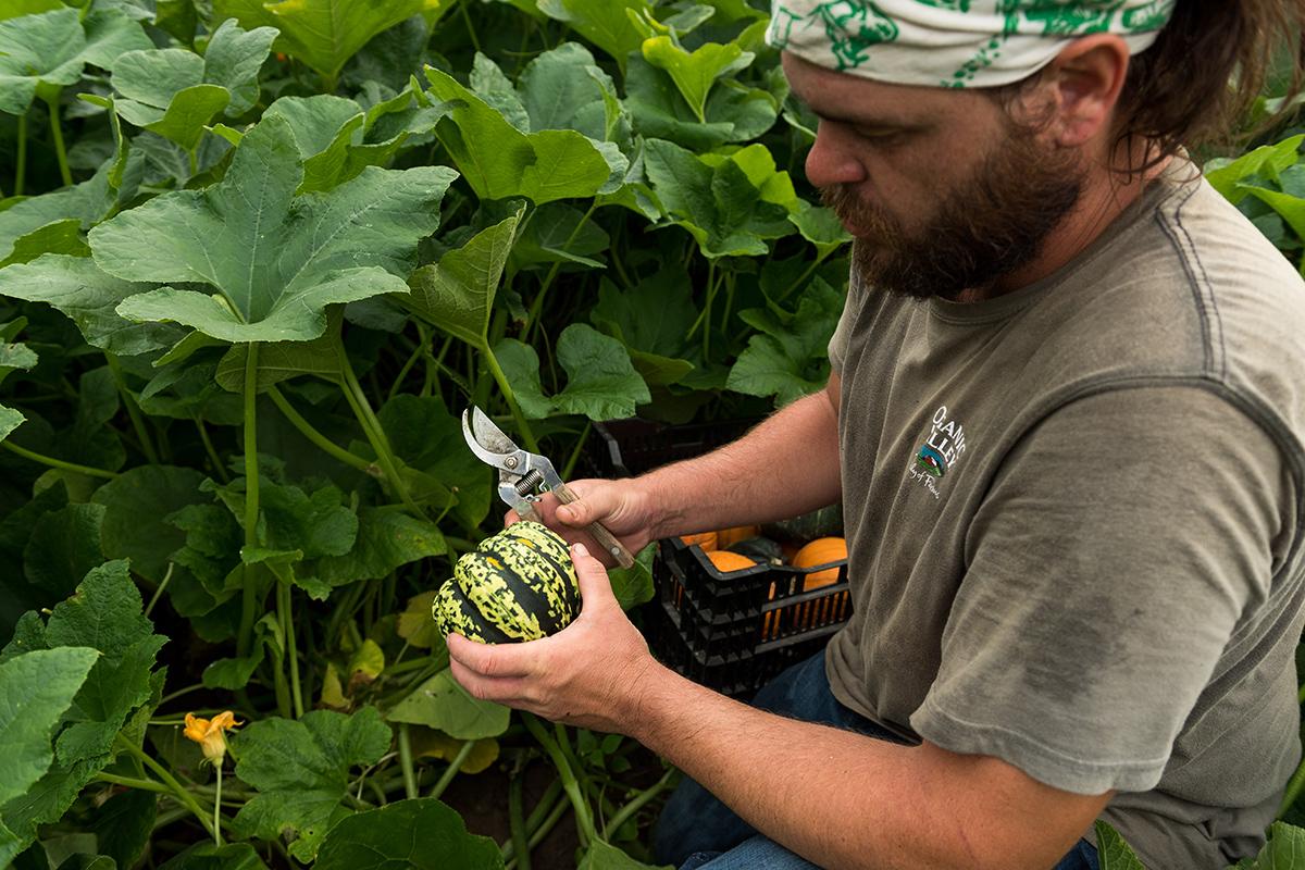 Trussoni farm harvest squash in the field.