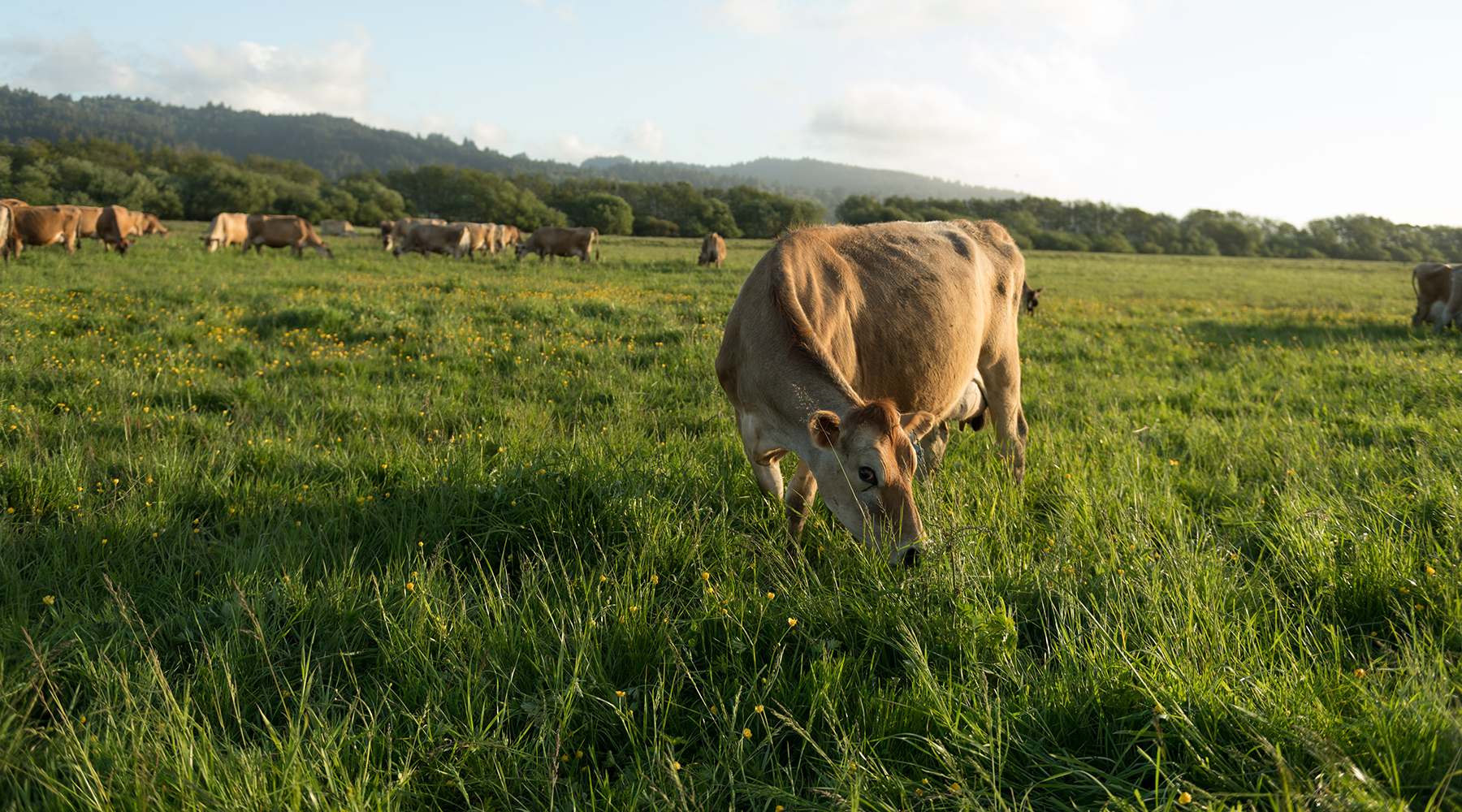 Cow grazing in lush pasture.
