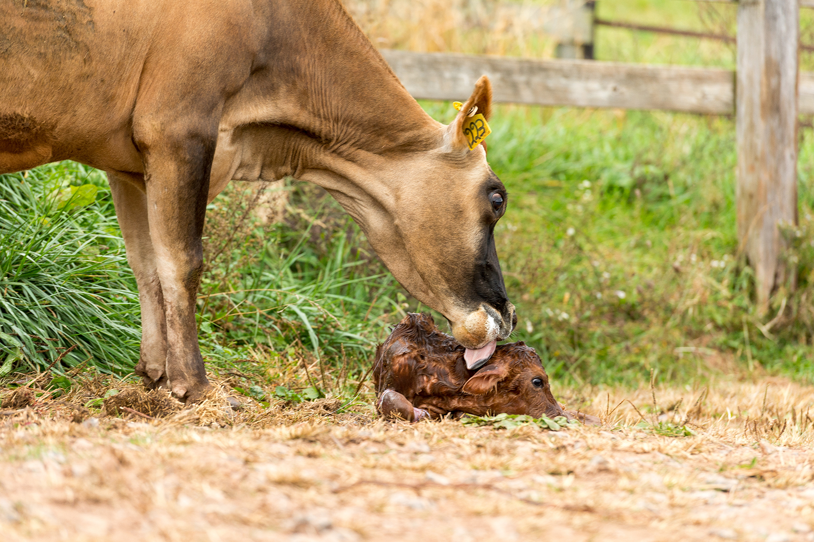 A mother cow cleans her newborn calf.
