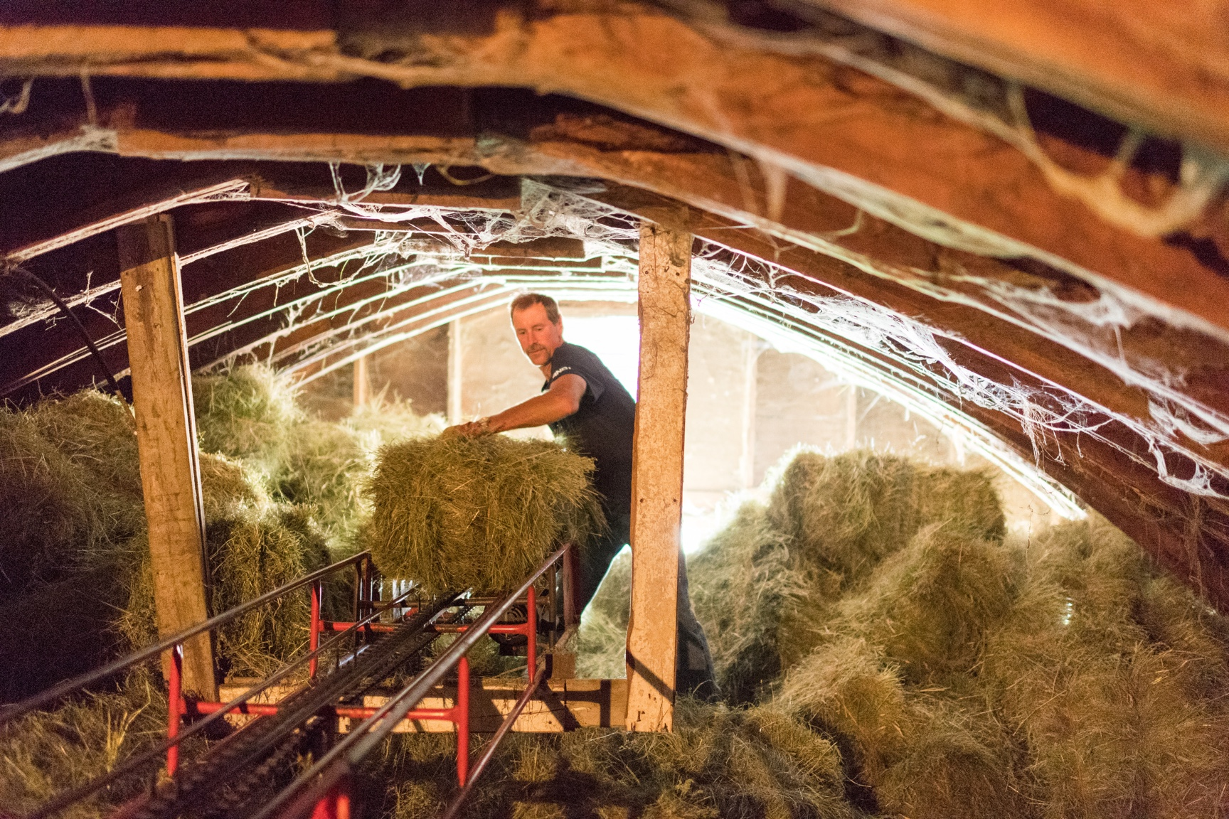 Neal Klaphake stacks hay in a cramped hayloft of the organic family farm barn.