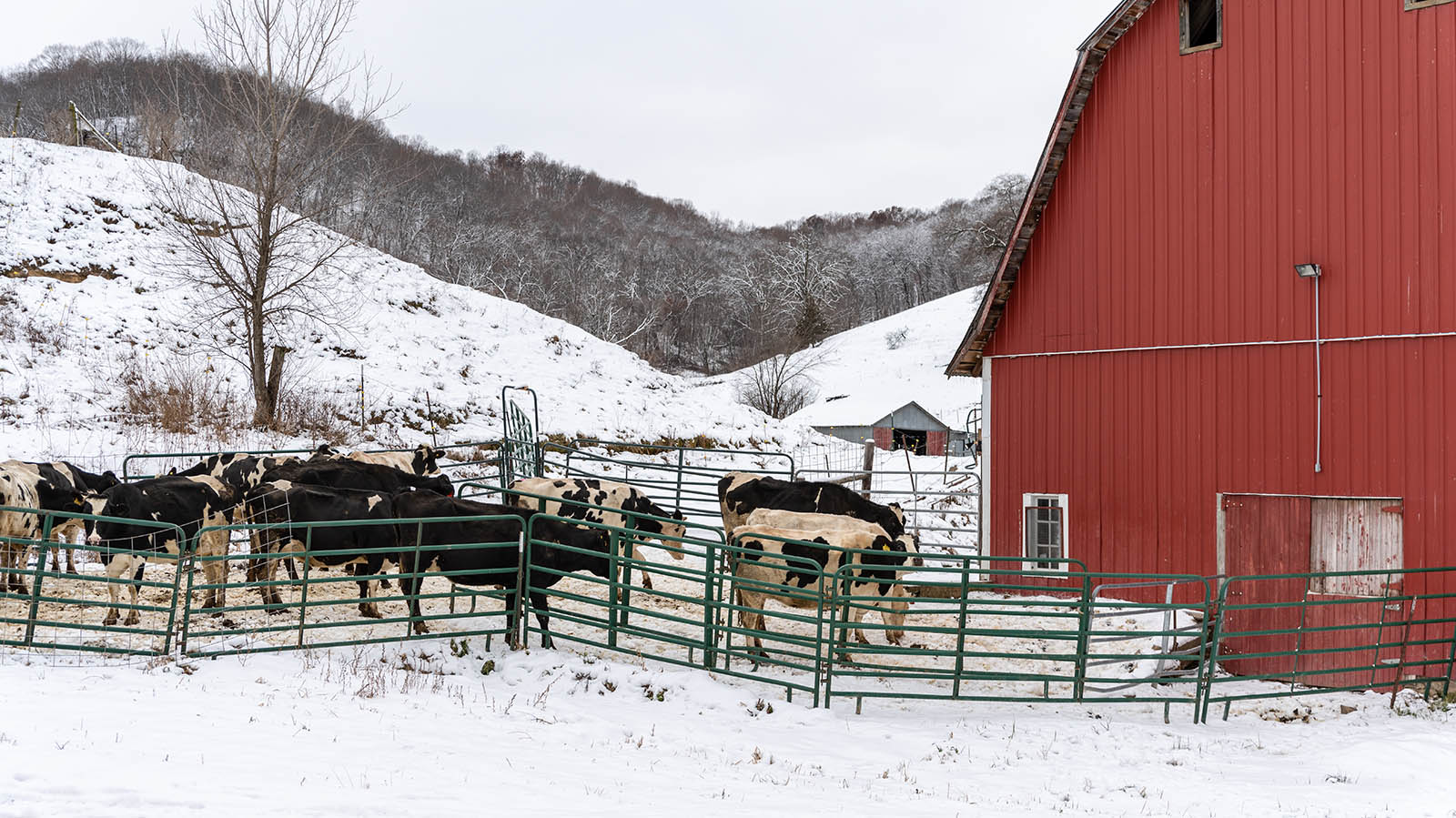 Cows get some fresh air in the winter paddock outside a red barn.