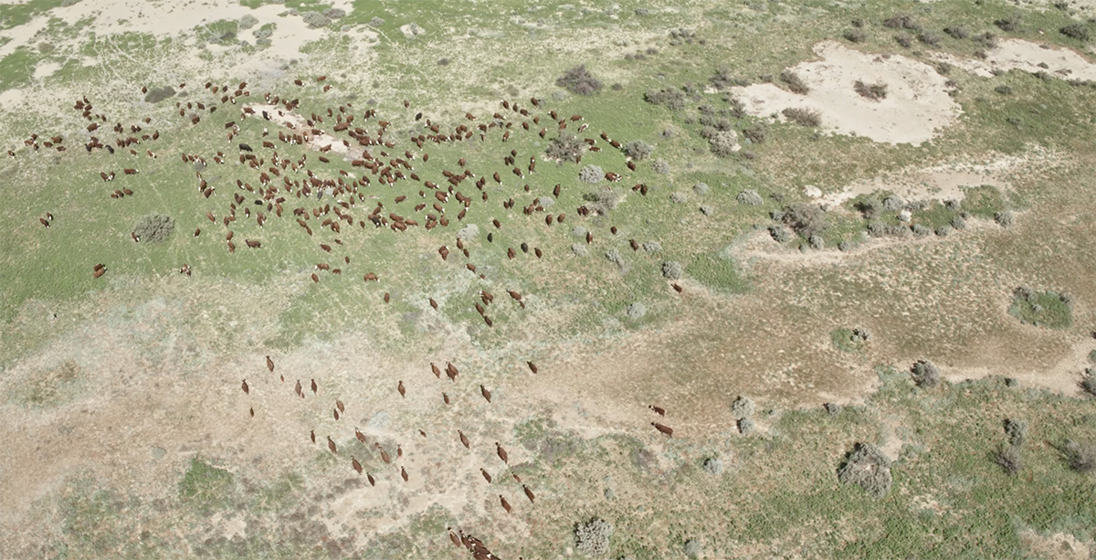 In an aerial view, a herd of cattle look tiny against the wide expanse of land.