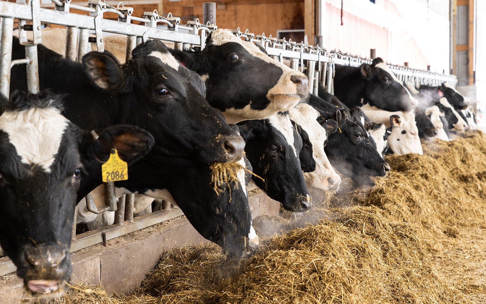 Cows have clouds of warm breath around them as they eat piles of dried hay.