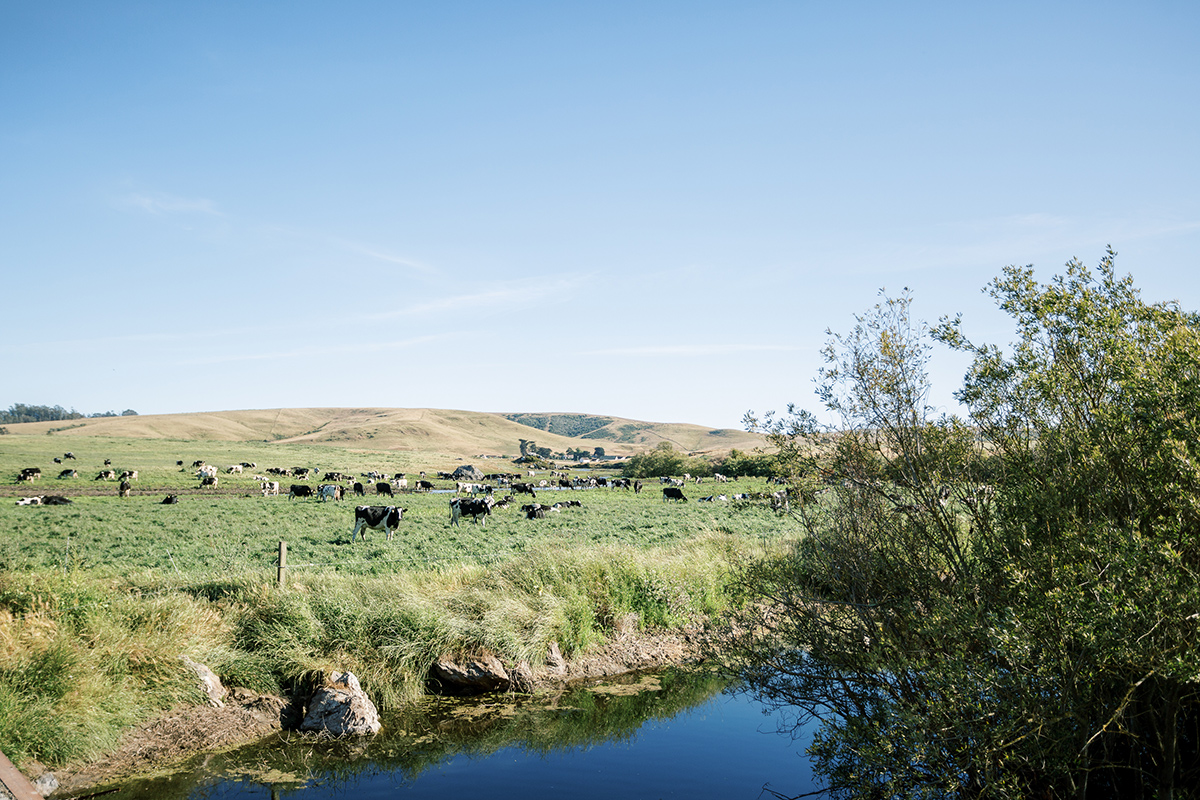 A stream in the foreground with cows grazing a lush green pasture nearby, against a clear blue sky.