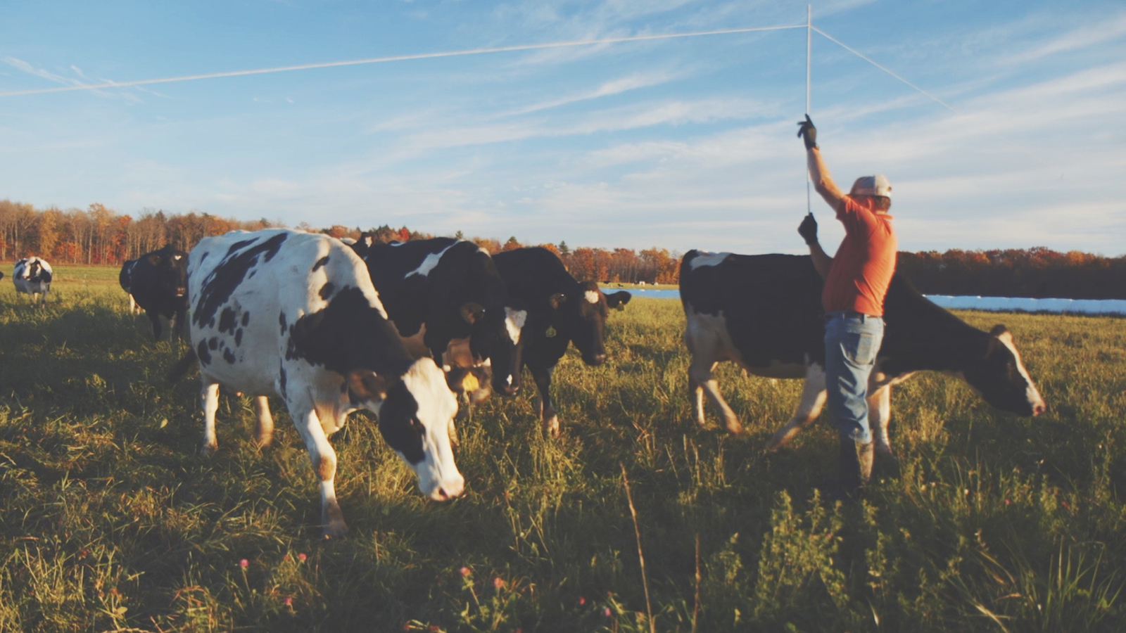 Organic Valley farmer, Kevin Mahalko, lifts fencing for cows to graze on pasture.