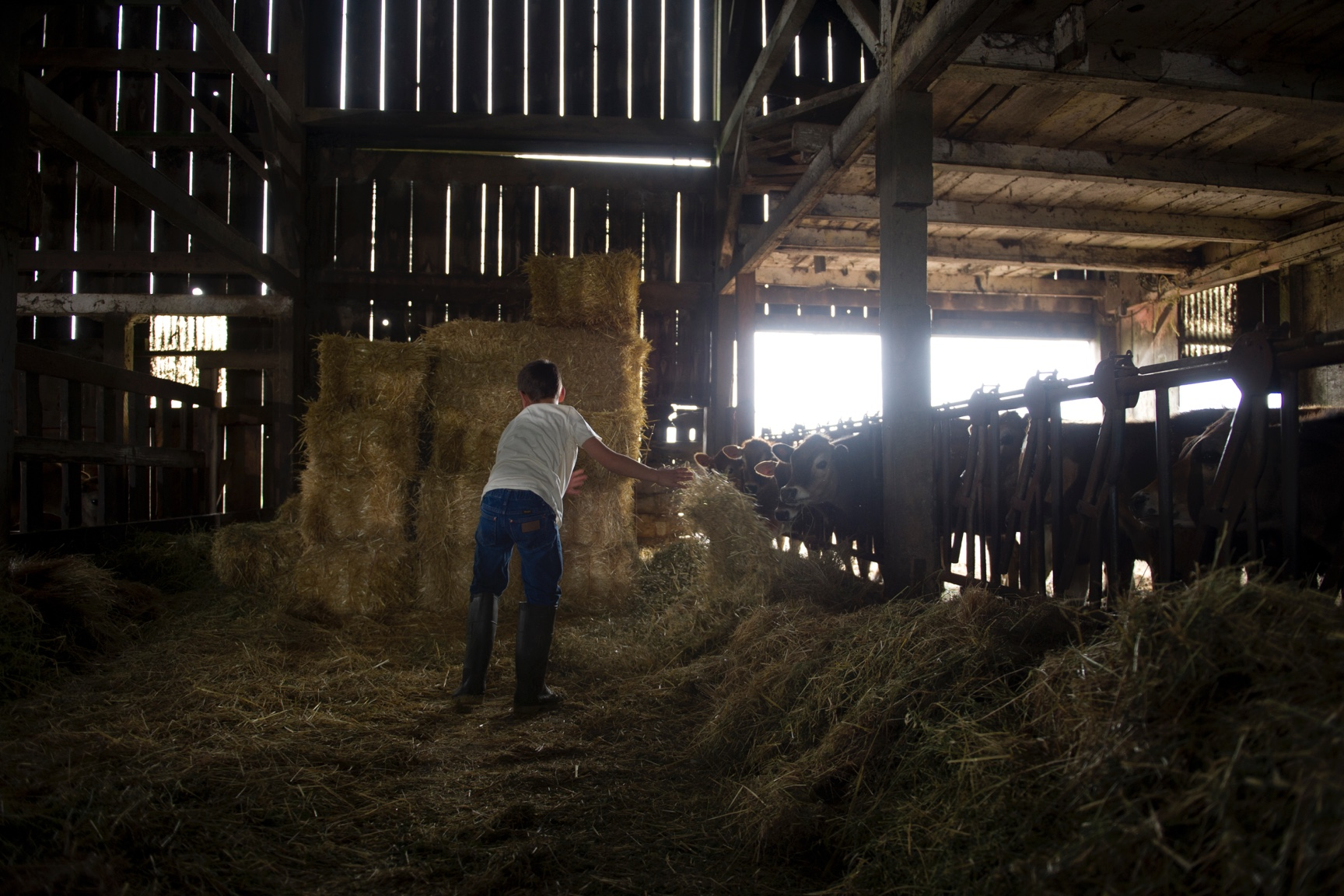 A boy in a white shirt, jeans and boots tosses grass hay to cows.