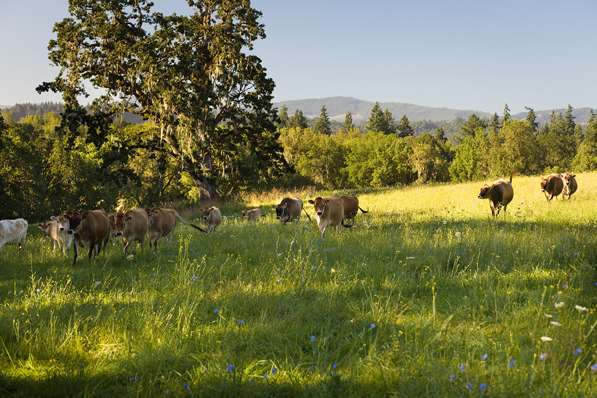 A group of Jersey cows walking on a pasture with trees and hills in the background.