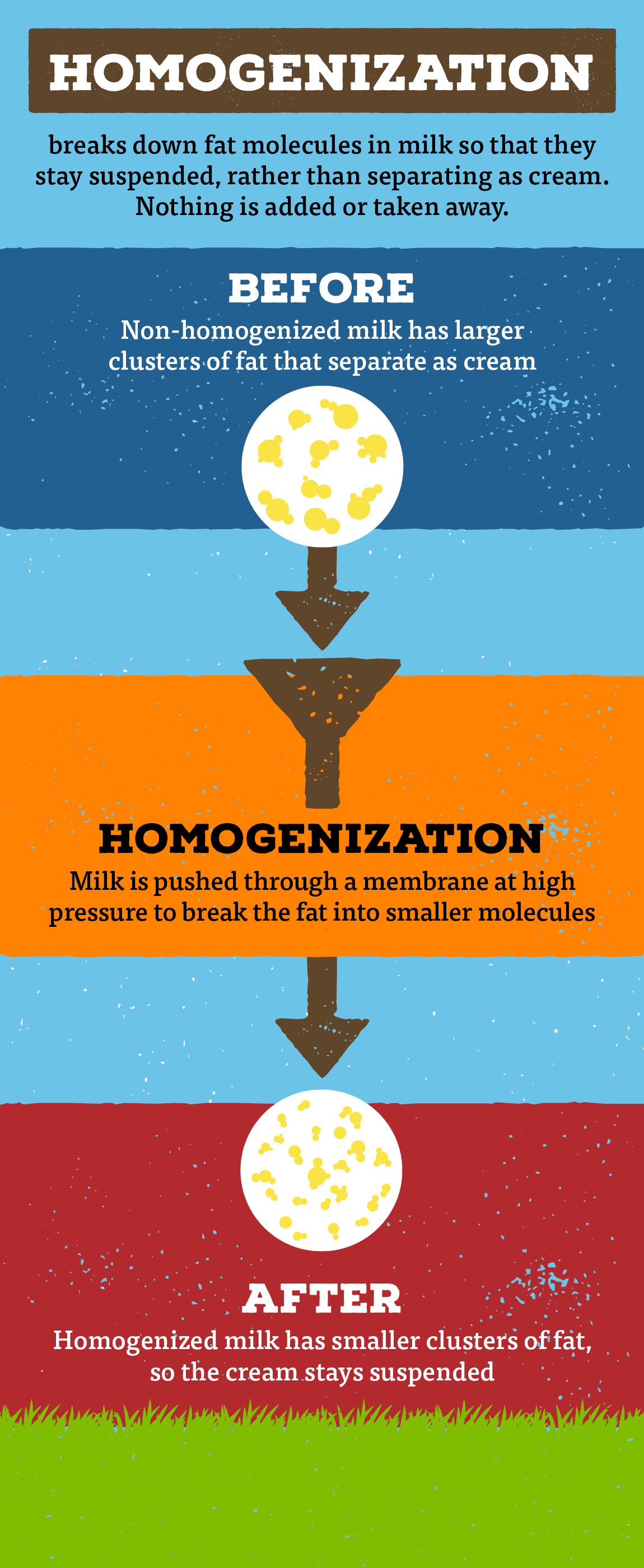 This infographic illustrates how homogenization splits up fat molecules so that they are suspended in the milk and will no longer rise to the top.