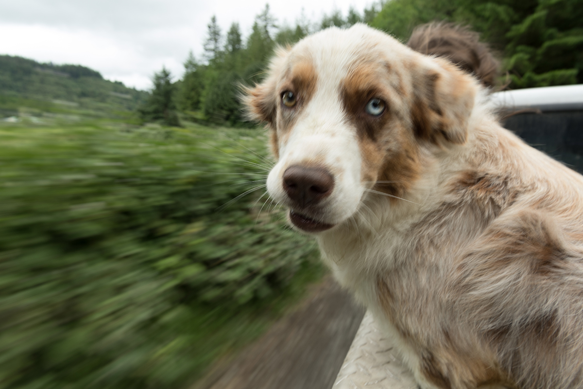 An artistic blurred picture of a dog riding in the back of a moving truck.