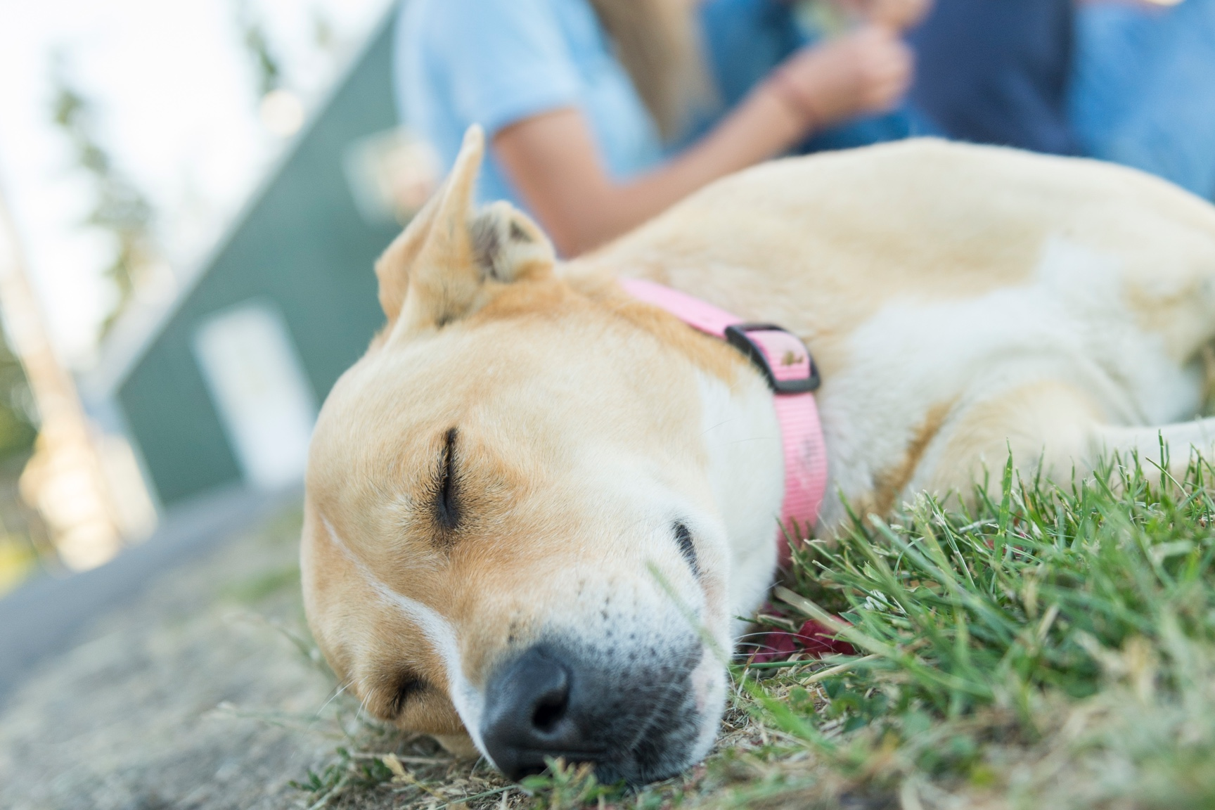 A yellow lab with a pink collar naps in the grass.