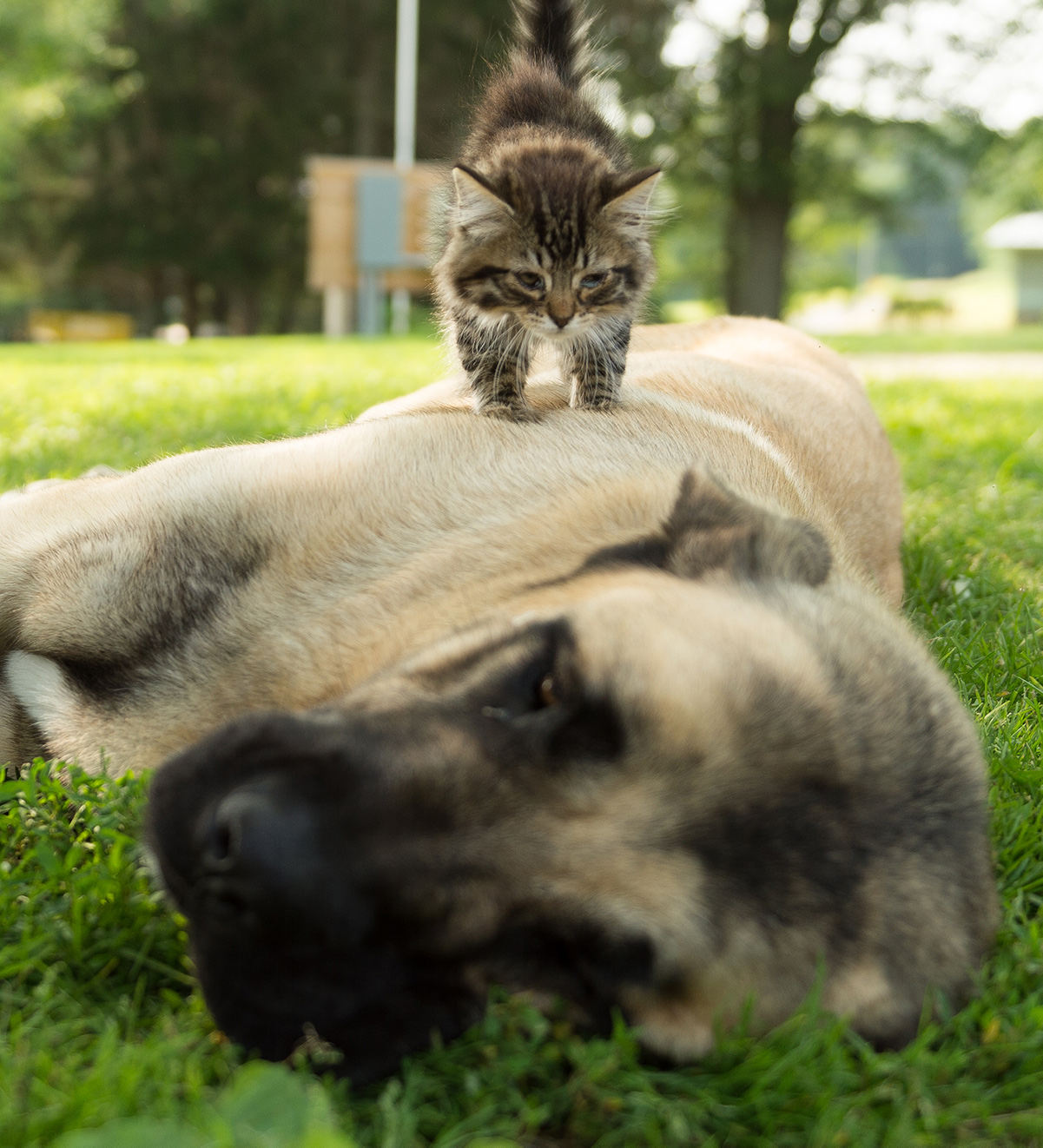 A large dog lays on its side while a striped kitten walks on top of it.