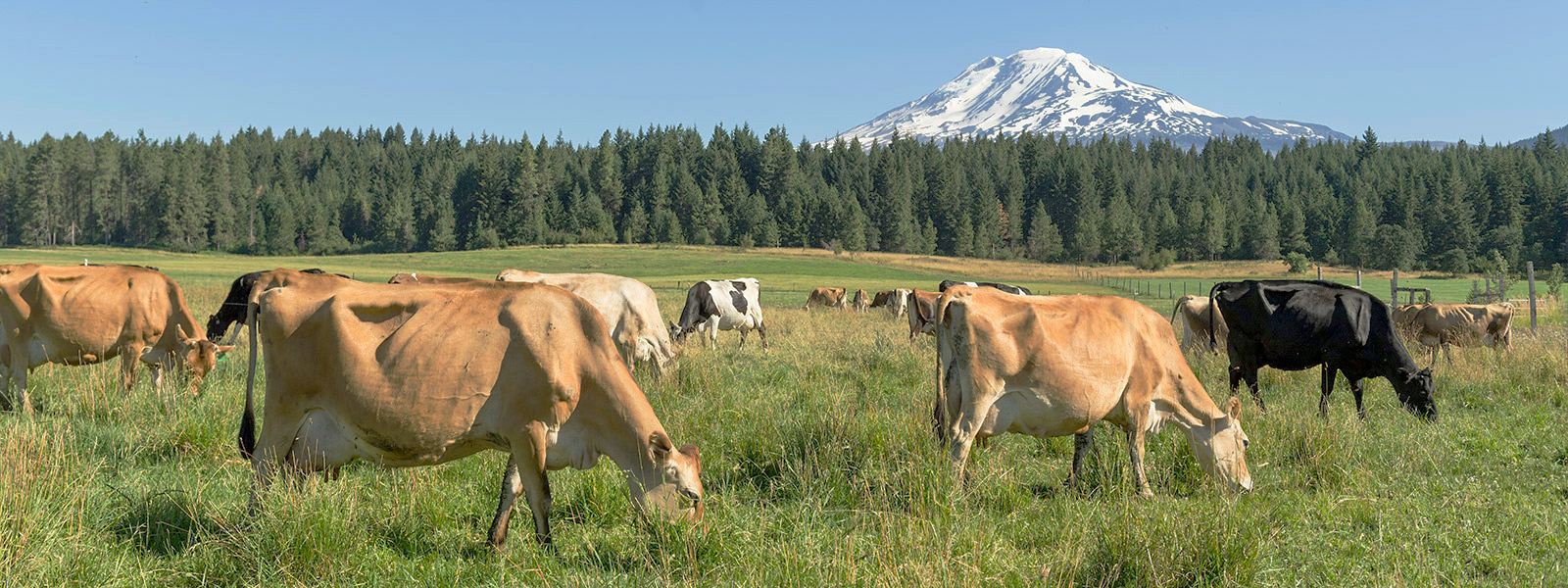 Pasture Raised Cows Belong In The Fields Organic Valley
