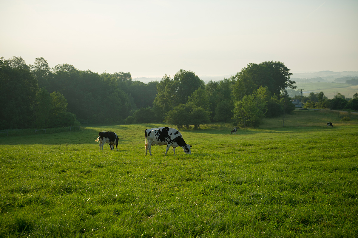 Cows graze in a peaceful green pasture on a New York organic farm.