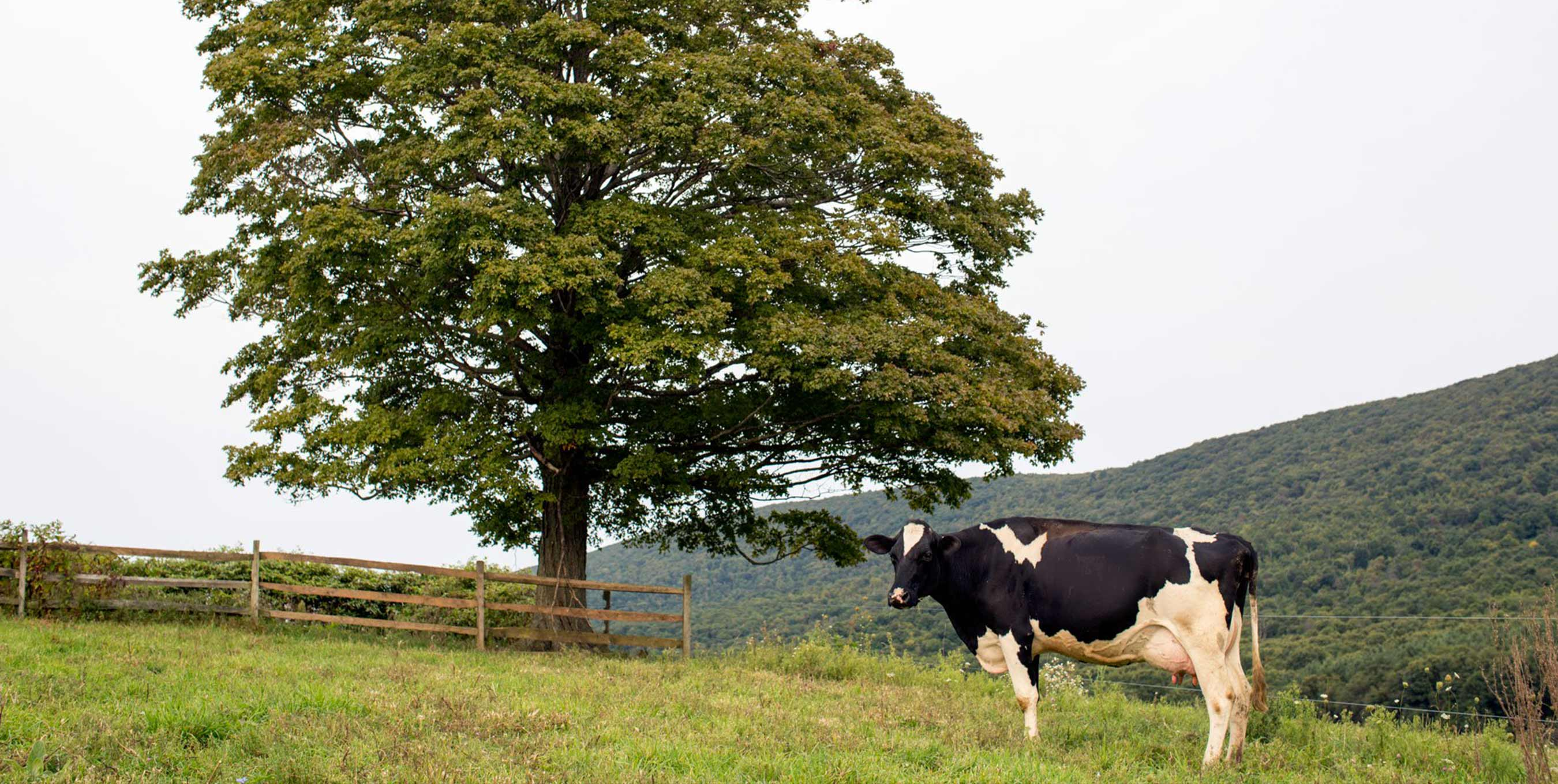 Can the Organic Label Save America's Small Family Dairy Farms?