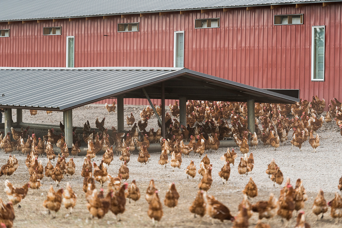 <p>Chickens on the Toews family's Organic Valley egg farm have easy access to a shelter to give them shade and protection, which helps them feel comfortable spending more time outside.</p>