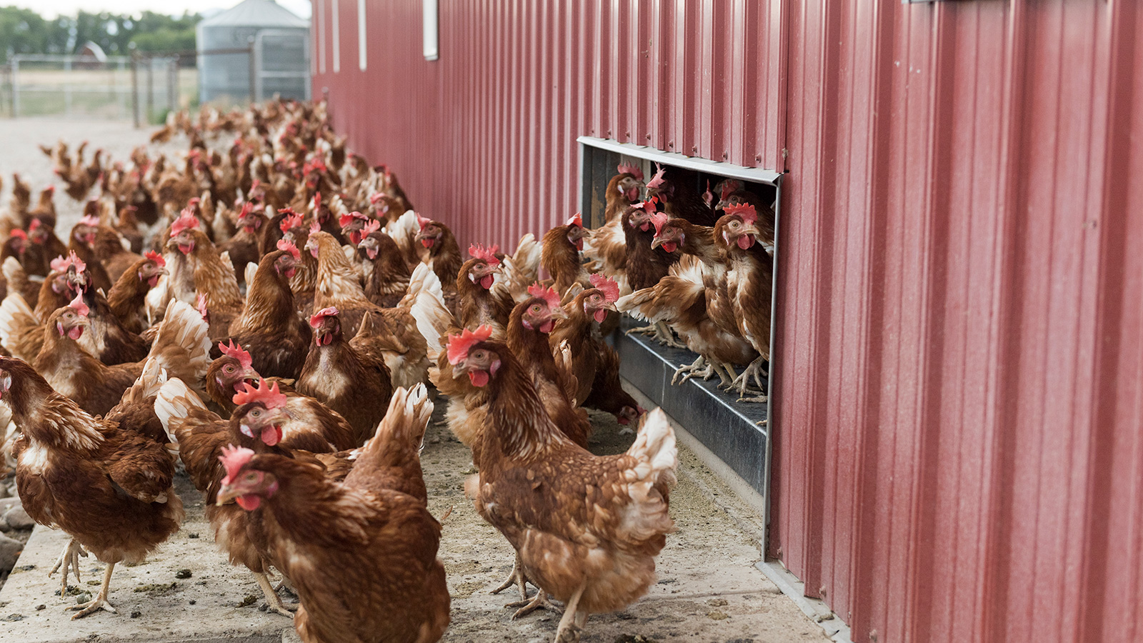 A flock of brown hens emerges from a chicken-sized door in a red barn.