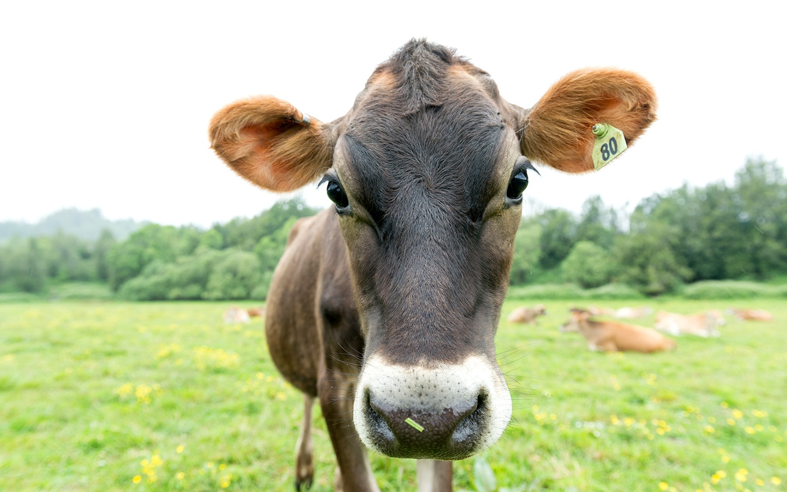 A close-up view of a Jersey cow.