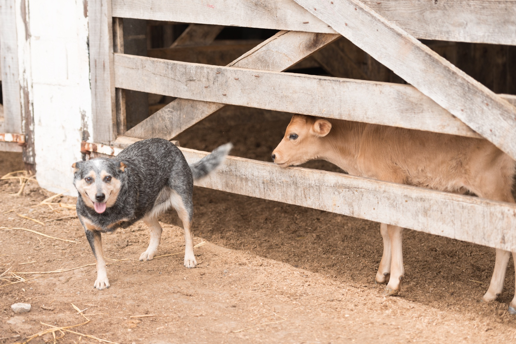 A three-legged dog stands next to a fence that a calf peeks through.