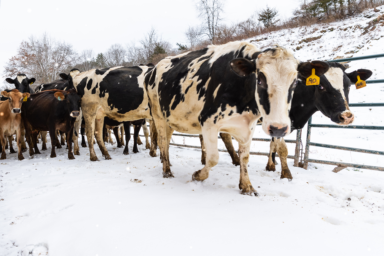A group of cows going outside in the snow.