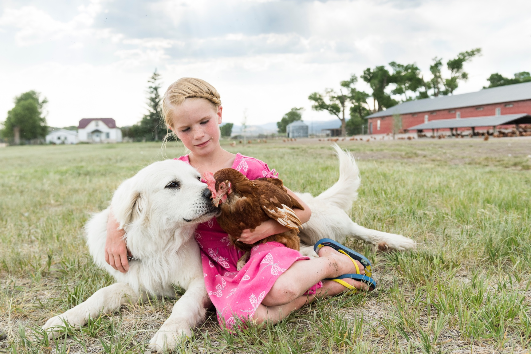 A large white dog sniffs a brown chicken being held by a girl in a pink dress.