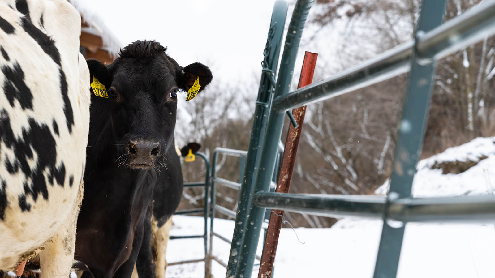 A black cow looks right into the camera on her way out to the paddock.