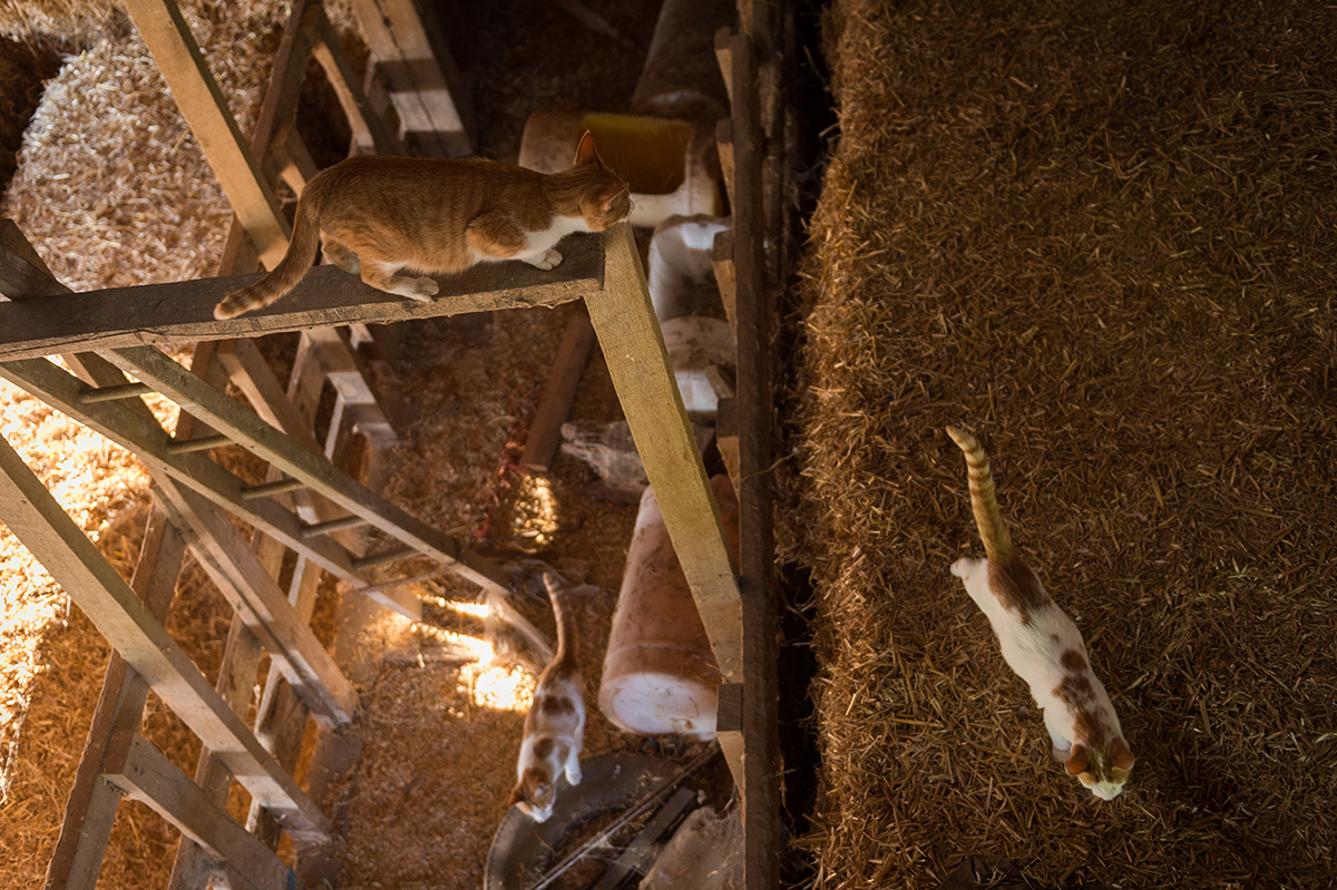 An overhead view of three cats playing in the haymow of a barn.