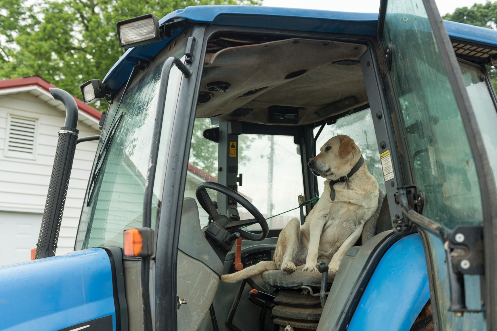A yellow lab sits in the driver's seat in a blue farm tractor.