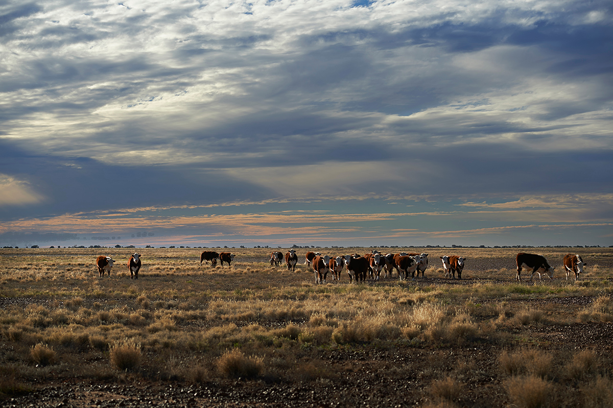 A group of brown and white cows graze dry grasses against a pink and blue sunset sky.