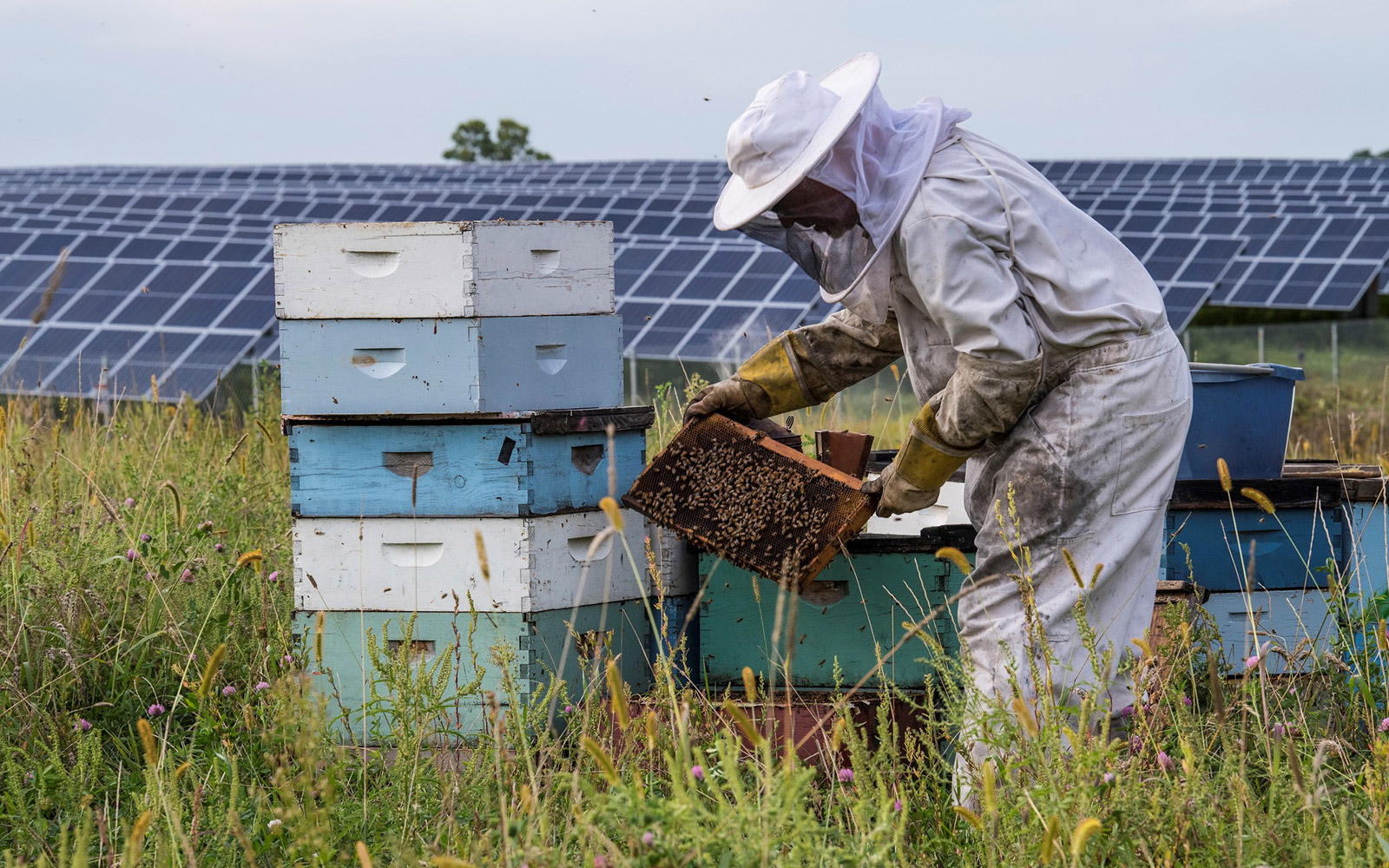 A beekeeper from Bare Honey manages honey bee hives on a pollinator-friendly solar farm.