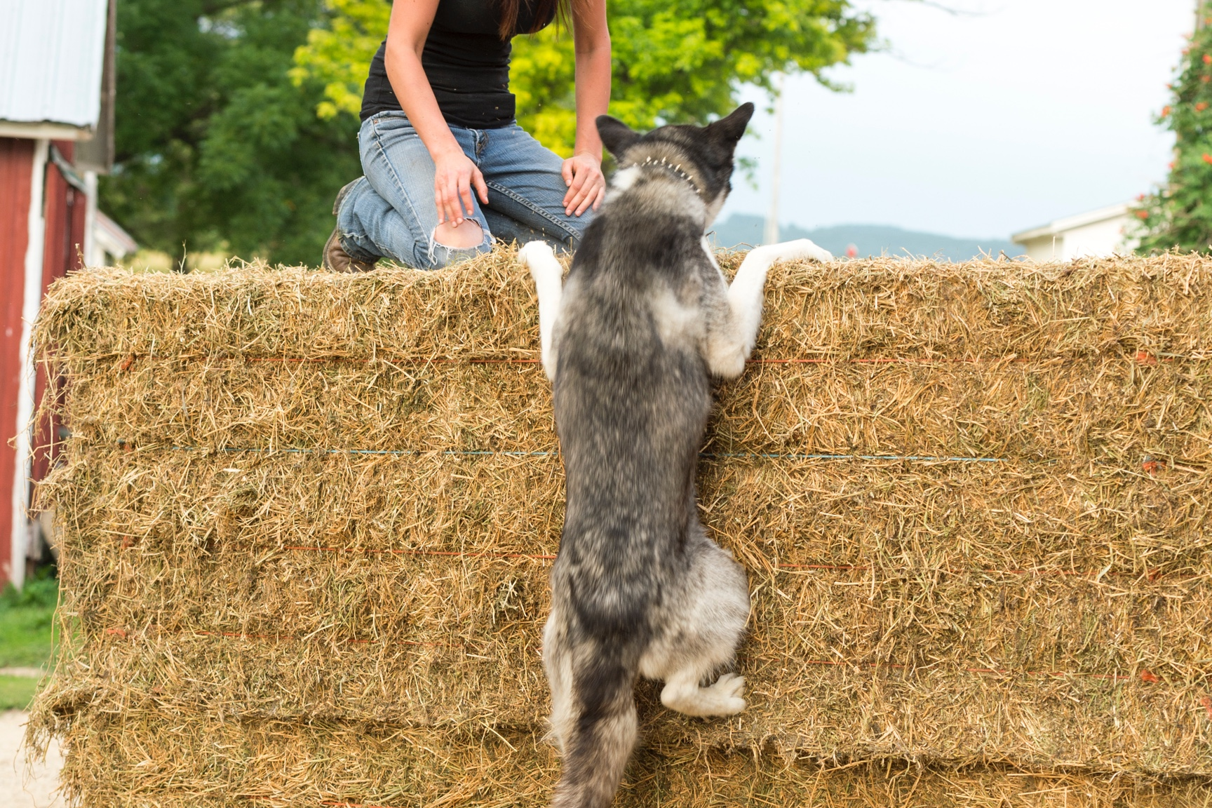 A dog climbs a hay bale to be with the woman kneeling on top.
