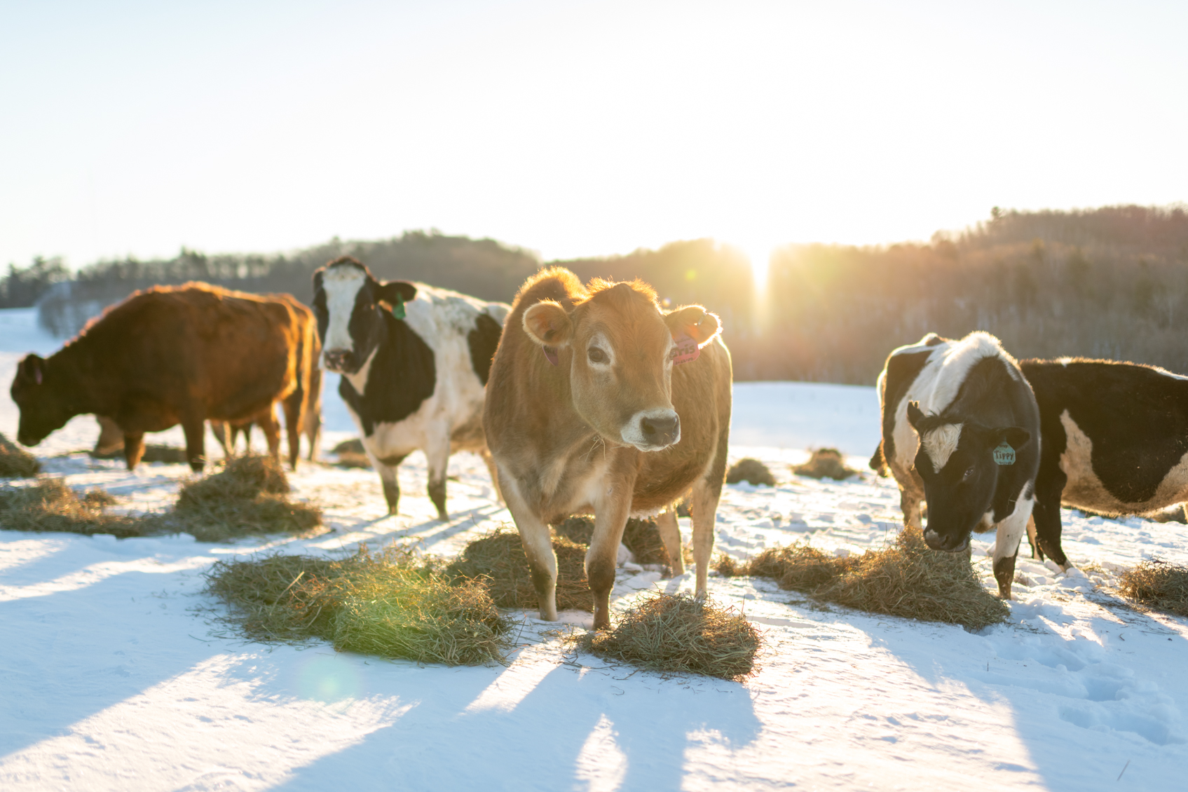 Cows eat piles of dried hay out on a snowy pasture on a sunny day.