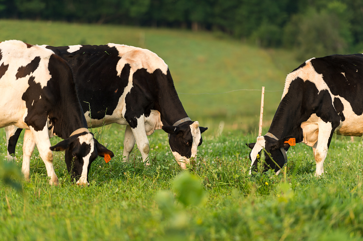 Cows graze on a green pasture.