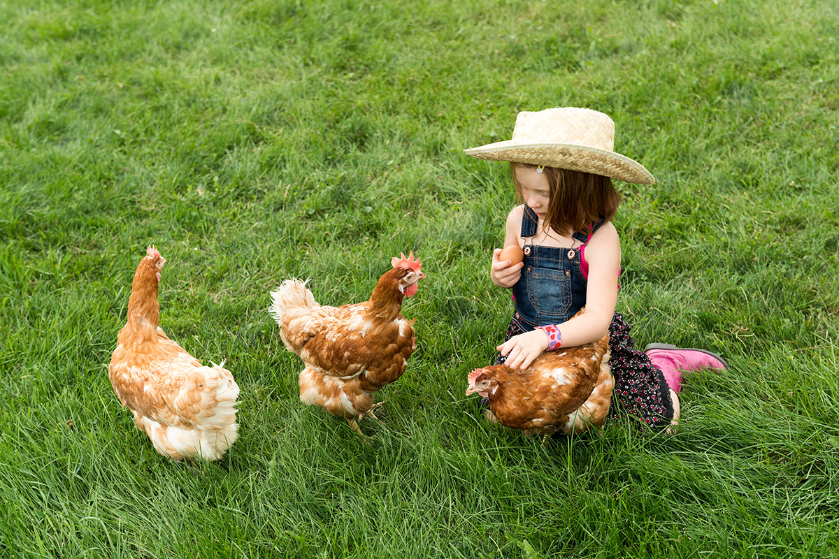 Little girl in overalls gathers brown eggs from hens in a green field.