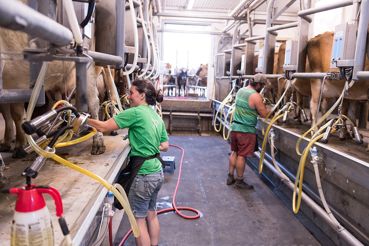 Tyler and Melanie Webb hook their cows up to the milking equipment in their barn.