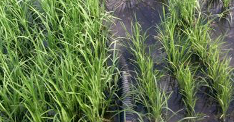 Henry's rice paddy collects rain water from the roof, and well water used to wash vegetables.