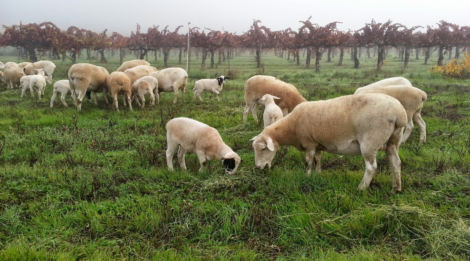 Sheep grazing in field.