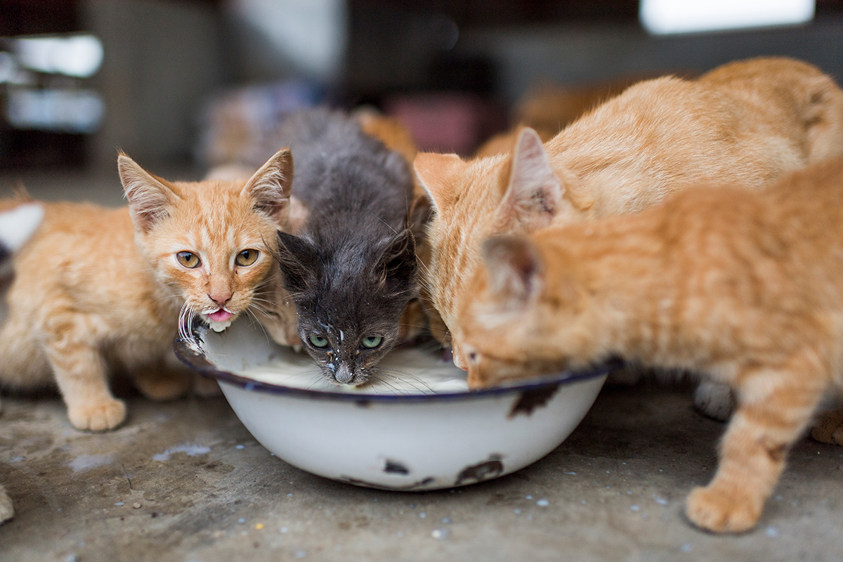 Three yellow cats and one gray cat drink milk from an old white enamel bowl.