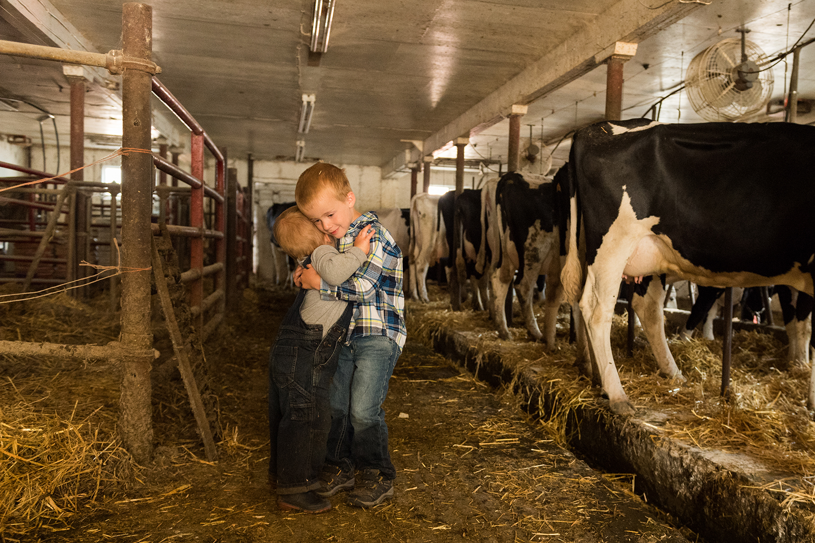 Two little boys hug in the milking barn with cows in the background.