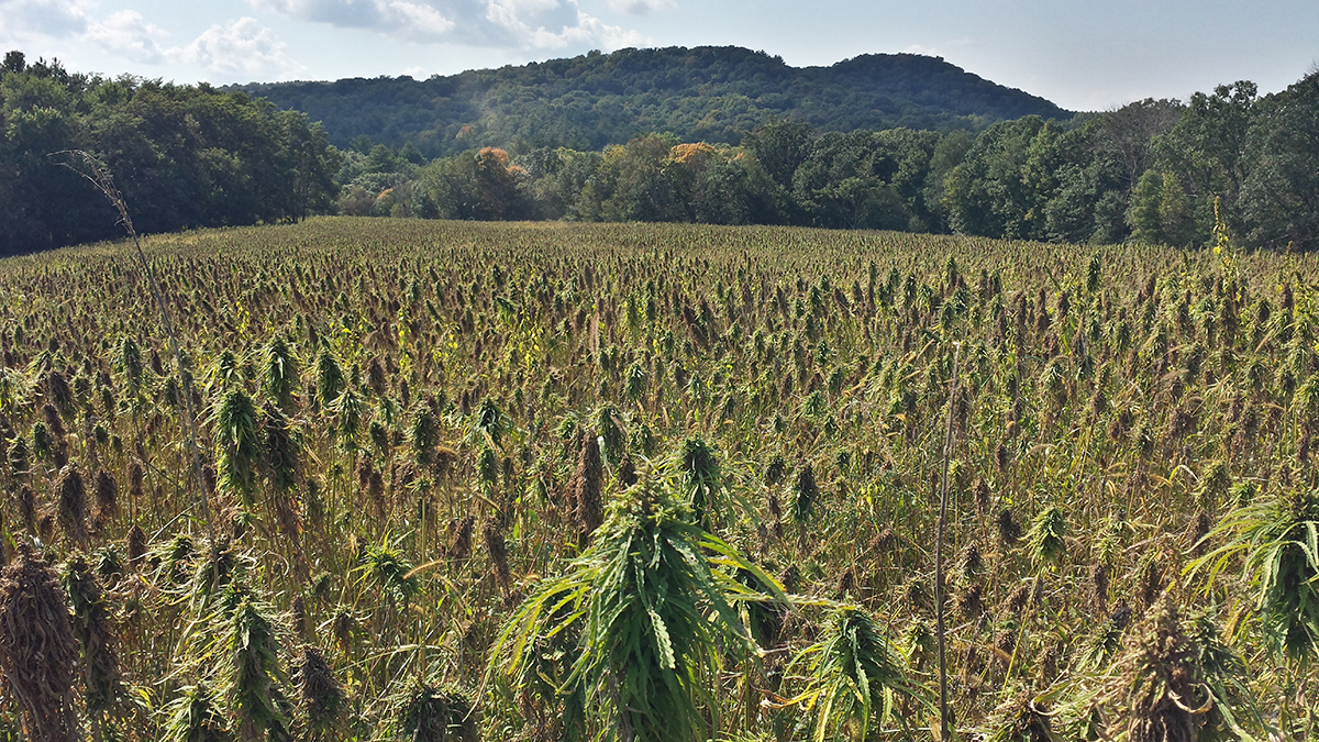 <p>One of Organic Valley's test plots of hemp nestled in the hills of southwest Wisconsin.</p>