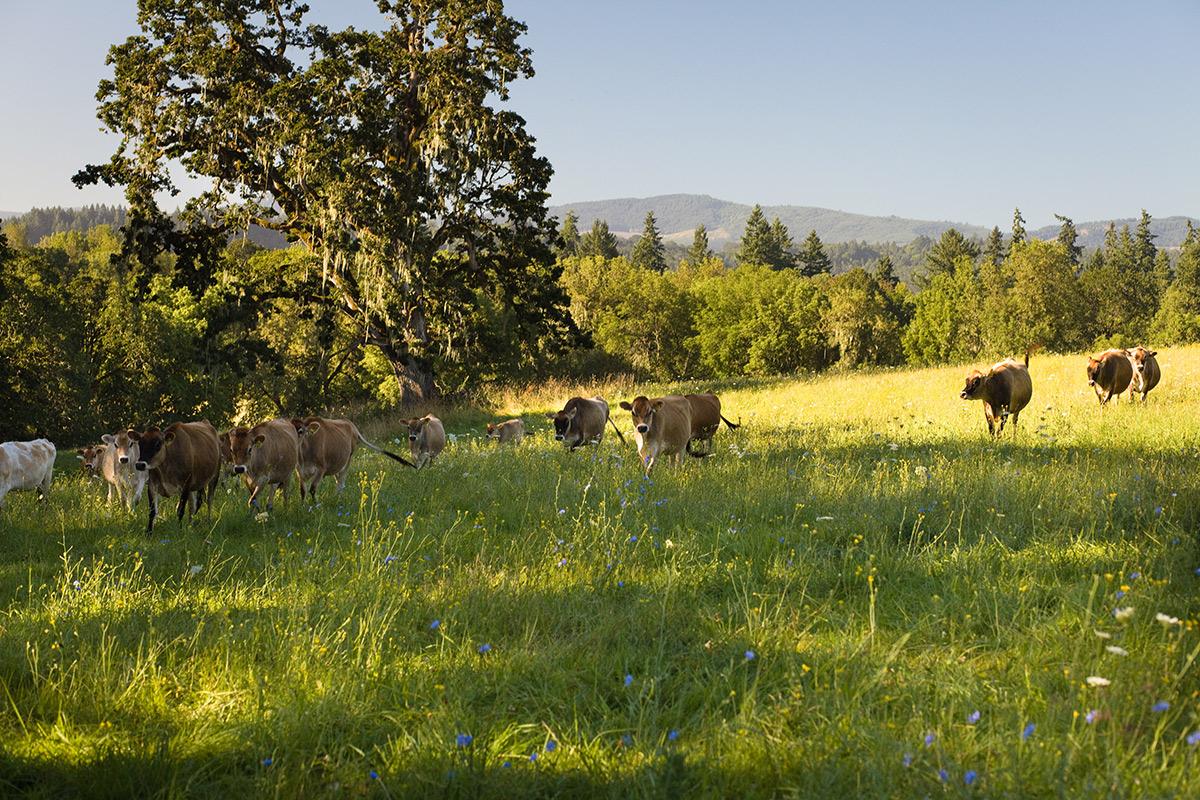 Cows graze on green grass on an organic farm in Oregon.