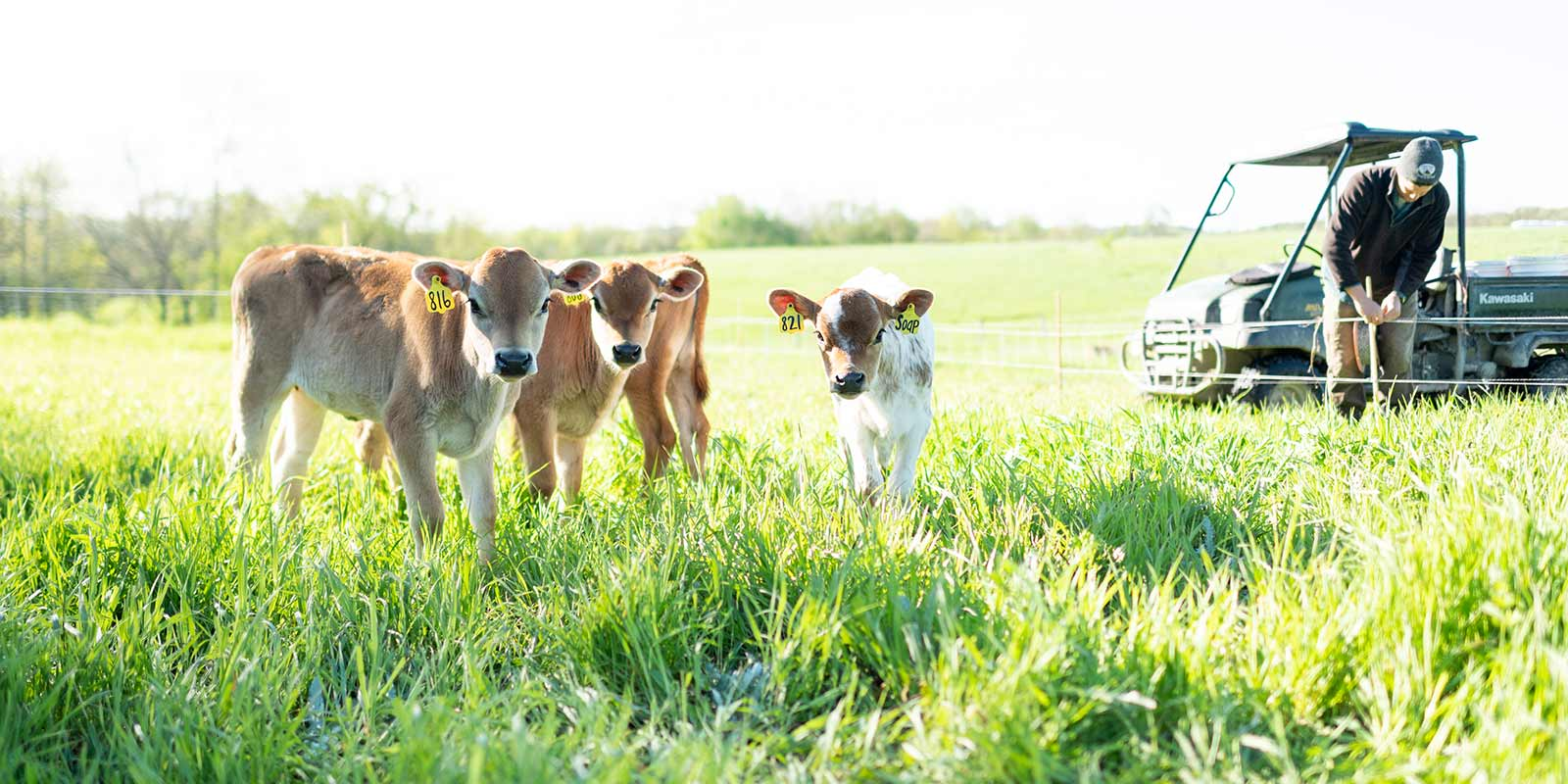 Three calves look directly at the camera while standing in tall grass. In the background, the farmer adjusts the fence.