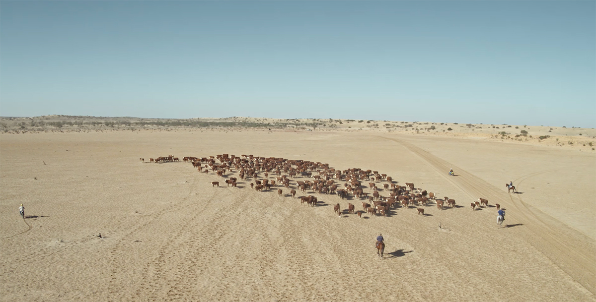 A herd of cows is herded by cowboys on horses and dirt bikes across a sandy stretch of land toward a green stretch in the distance.