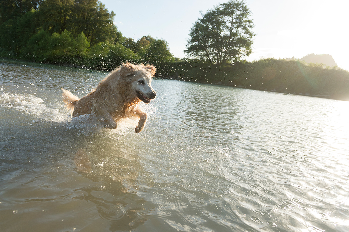 An action shot of a golden retriever leaping out of the water at sunset with droplets of water in the air.
