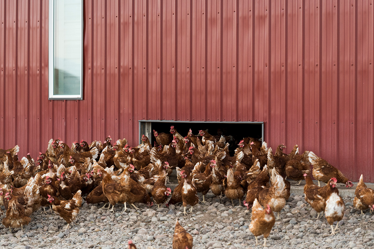 <p>Organic Valley hens have plenty of chicken-sized doors to access the outdoor space with.</p>