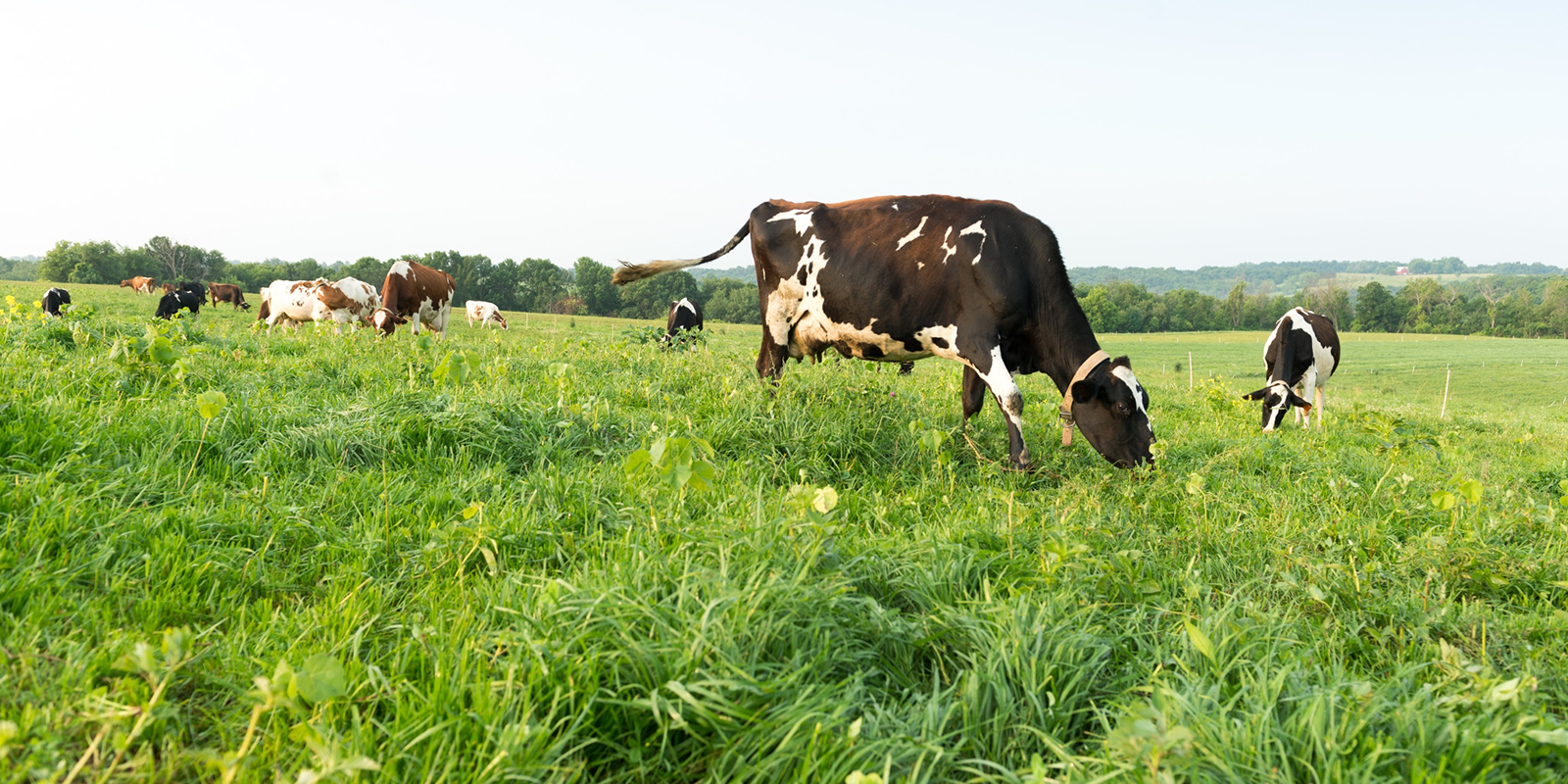 Certified grass-fed organic dairy cows graze lush green pastures on the Gretebecks' Wisconsin farm.