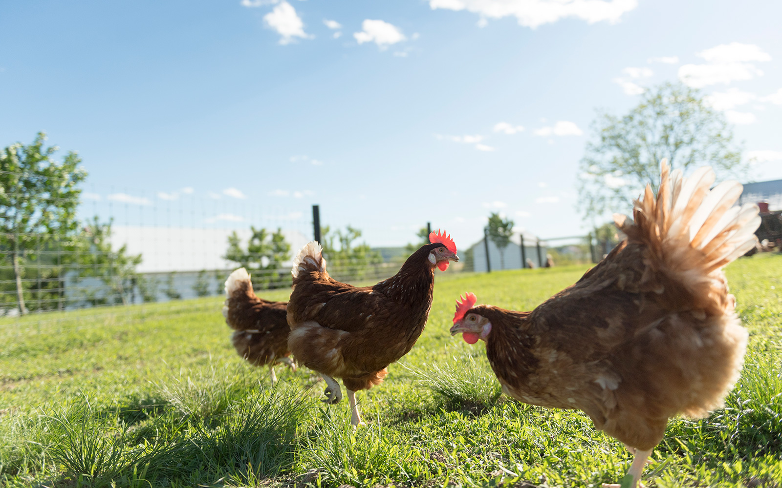 A low angle view of three chickens out on grass in the sunshine.