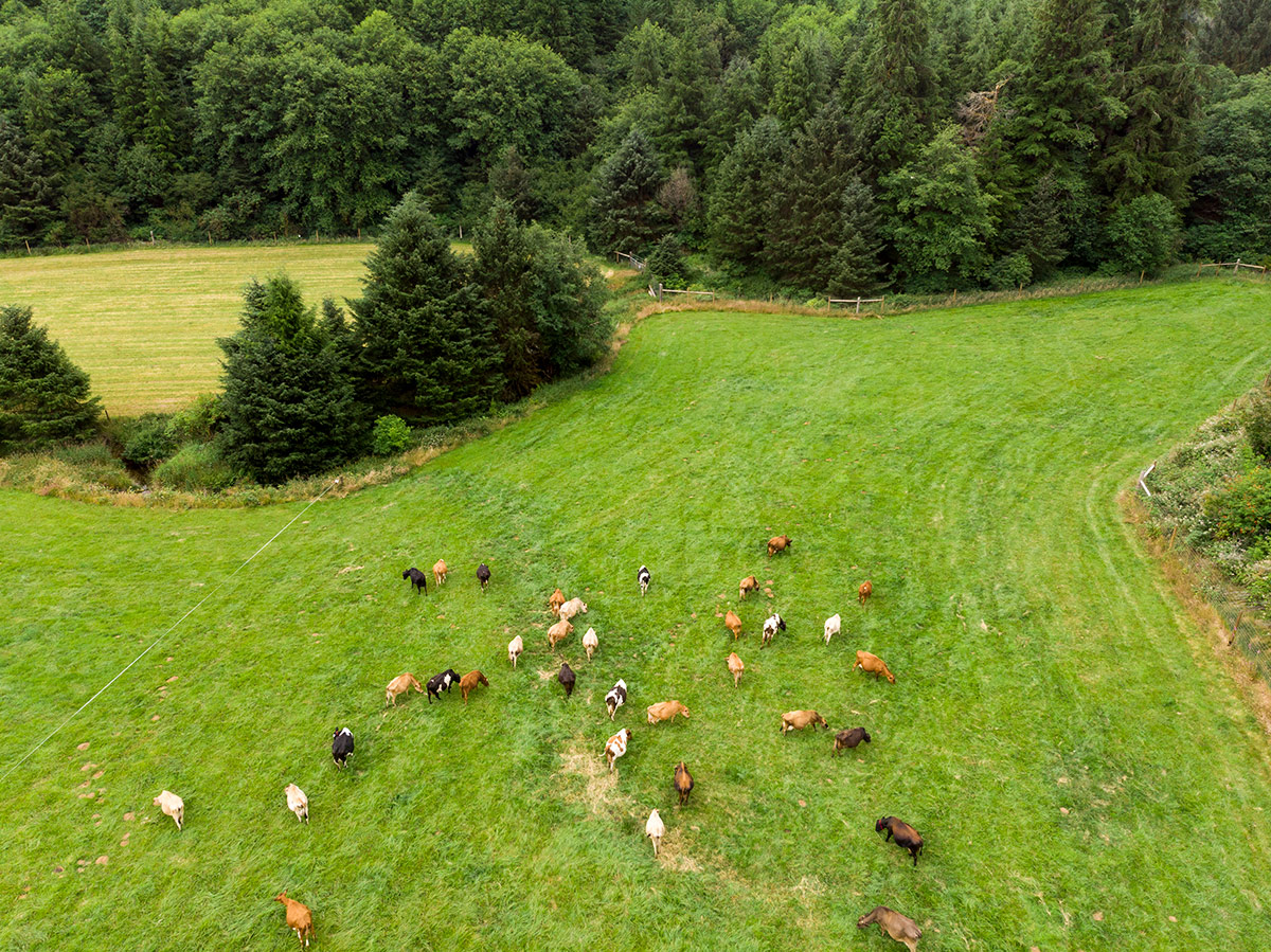 Aerial shot of cows grazing on an organic farm in Oregon.