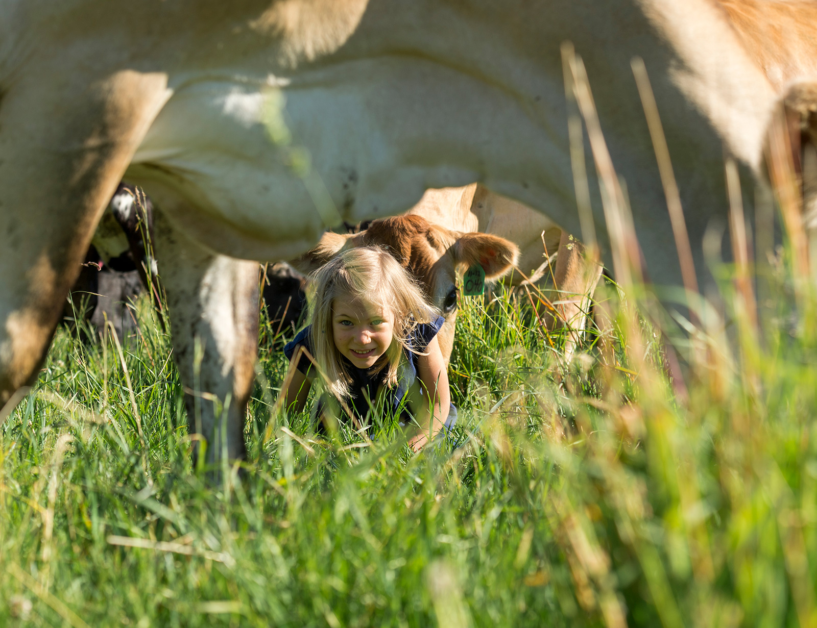 Little girl peeks out from under a cow in a grassy field.